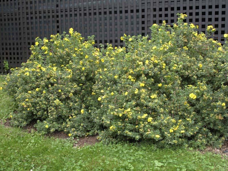 potentilla-fruticosa-05.jpg