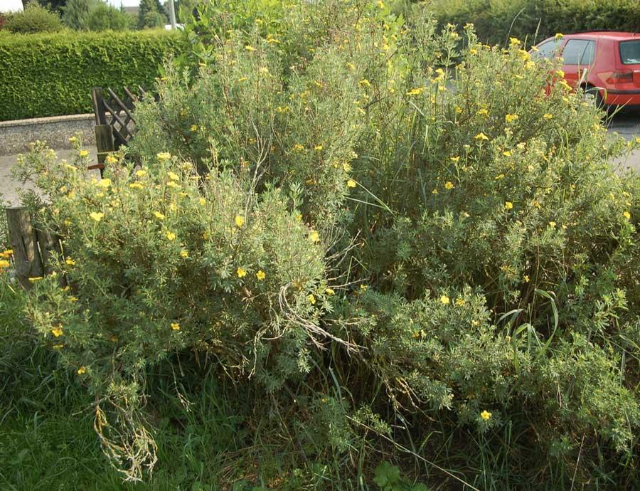 potentilla-fruticosa-09.jpg