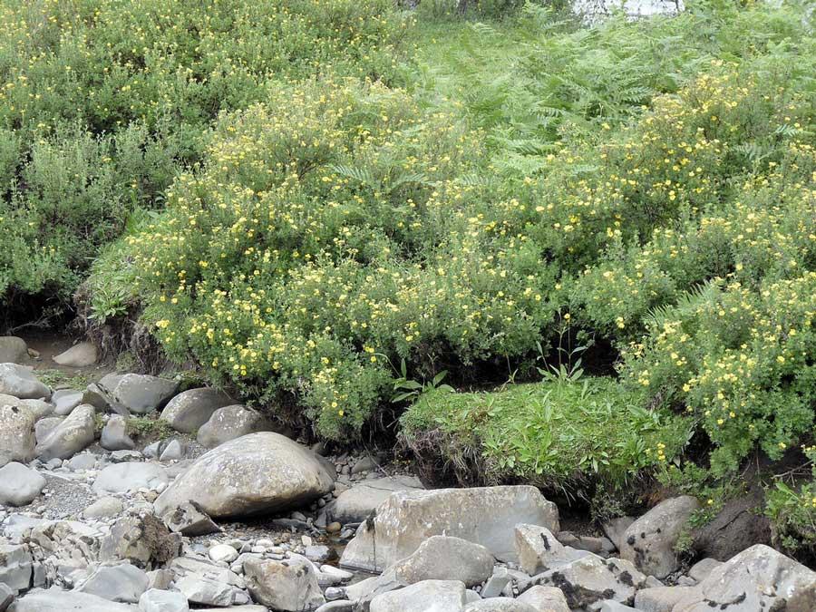 potentilla-fruticosa-11.jpg