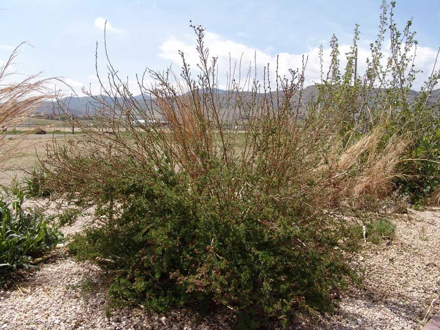 potentilla-fruticosa-12.jpg