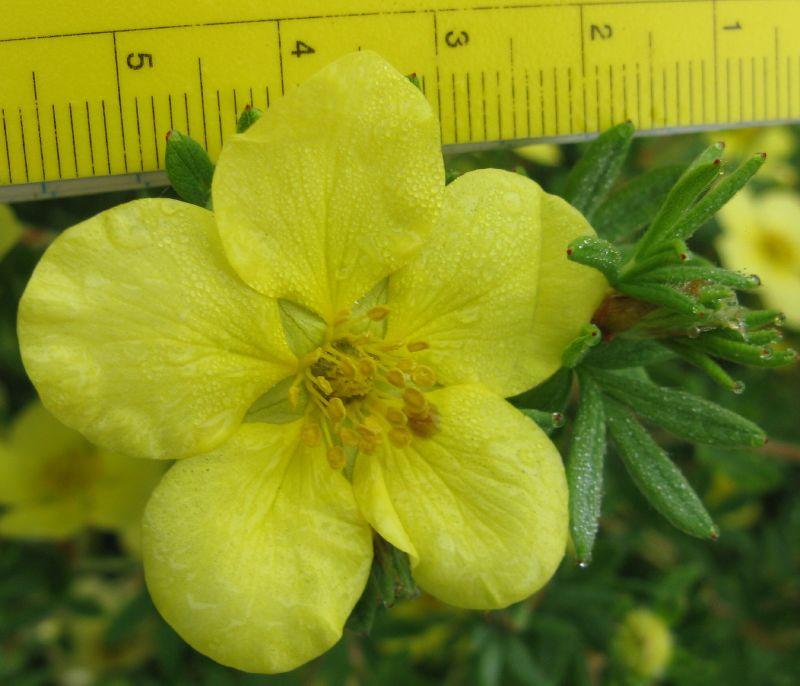 potentilla-fruticosa-15.jpg