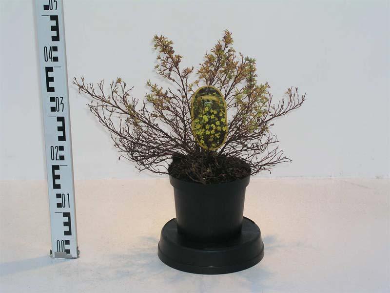 potentilla-fruticosa-17.jpg