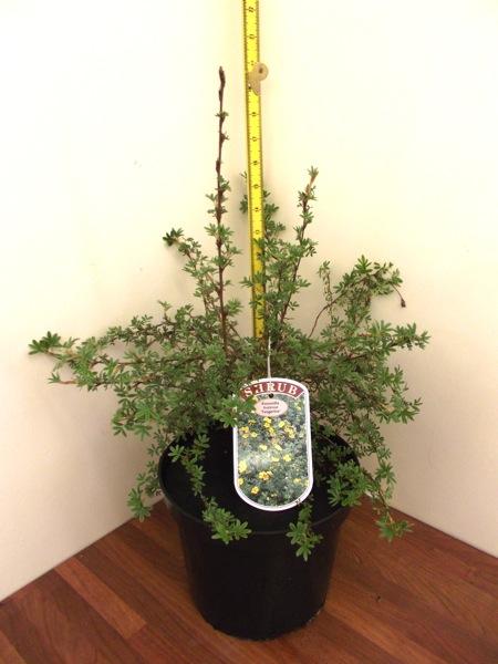 potentilla-fruticosa-18.jpg