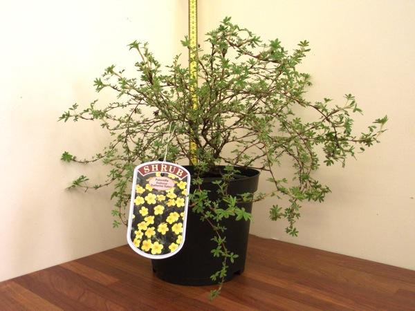 potentilla-fruticosa-19.jpg