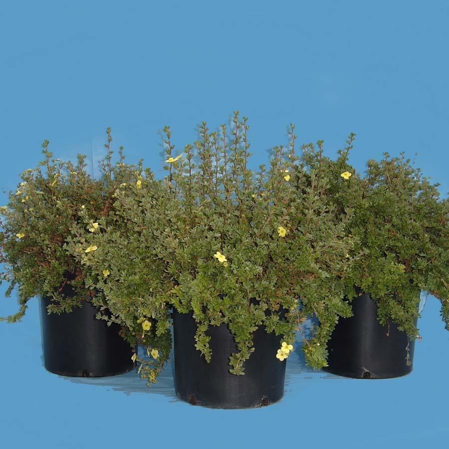 potentilla-fruticosa-20.jpg