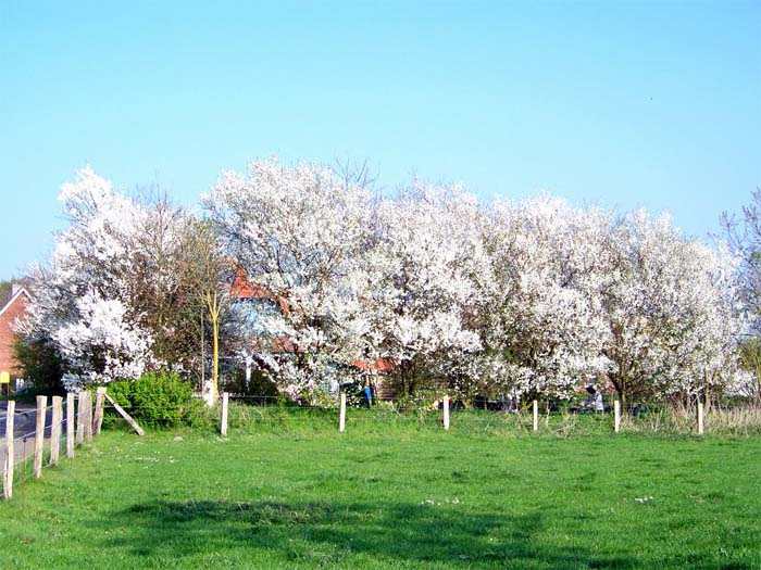 prunus-spinosa-01.jpg