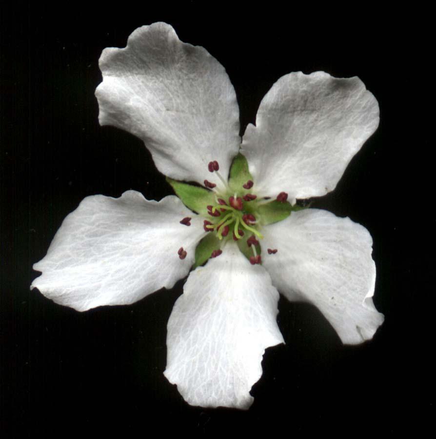 pyrus-ussuriensis-06.jpg
