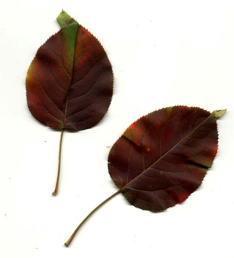 pyrus-ussuriensis-07.jpg