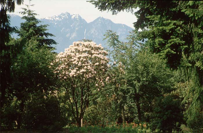 rhododendron-fortunei-01.jpg
