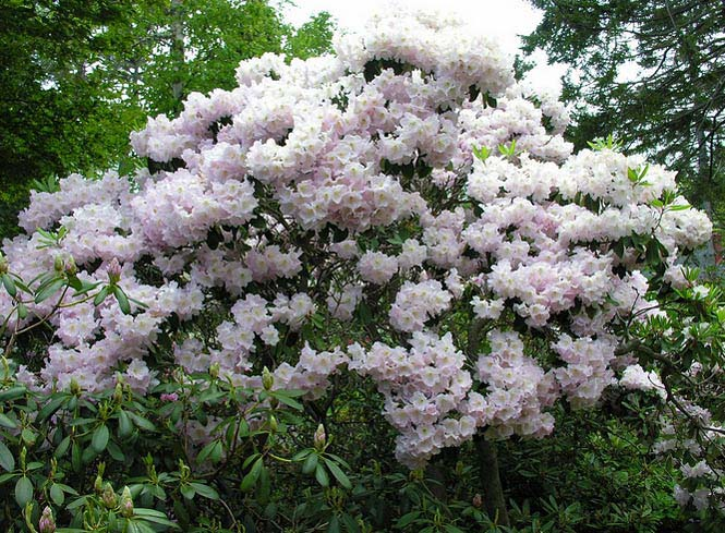 rhododendron-fortunei-02.jpg