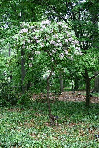 rhododendron-fortunei-03.jpg
