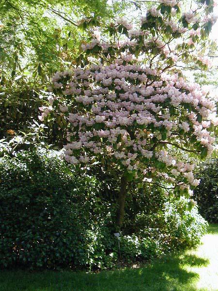 rhododendron-fortunei-04.jpg