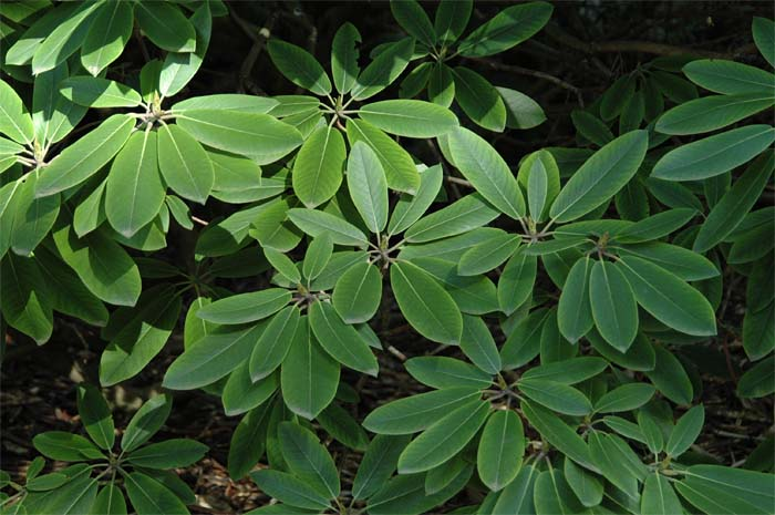 rhododendron-fortunei-05.jpg