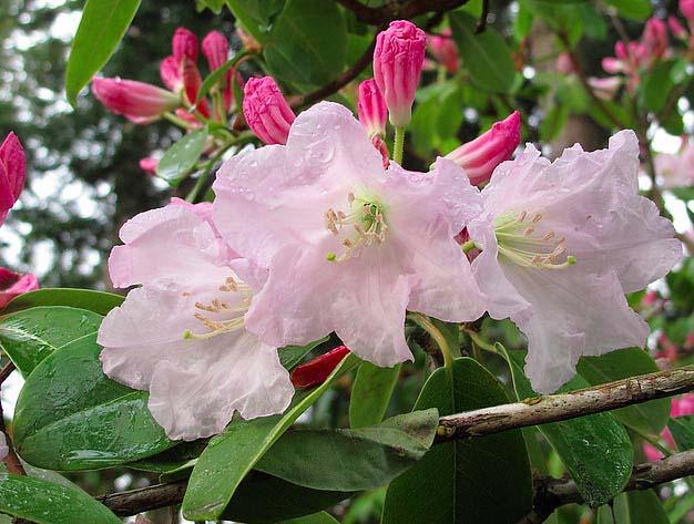 rhododendron-fortunei-06.jpg
