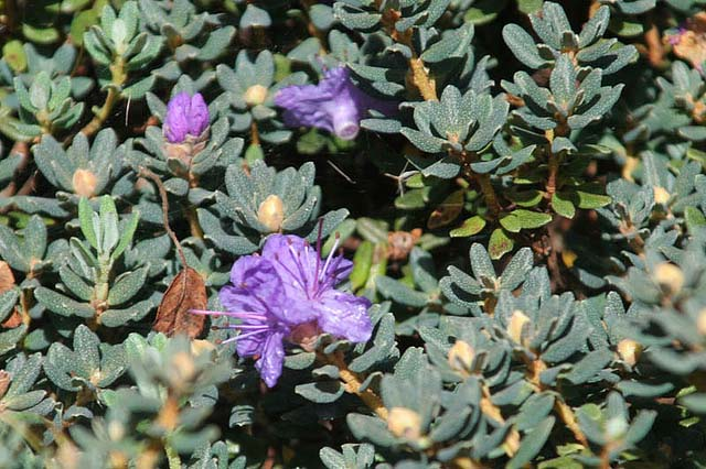 rhododendron-impeditum-04.jpg