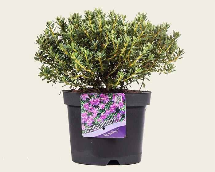 rhododendron-impeditum-05.jpg