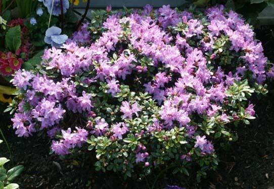 rhododendron-impeditum-06.jpg