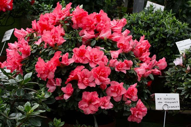 rhododendron-japonicum-01.jpg