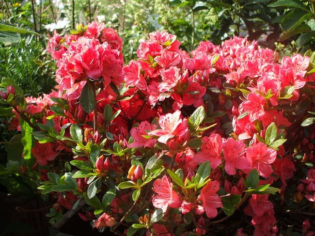 rhododendron-japonicum-02.jpg