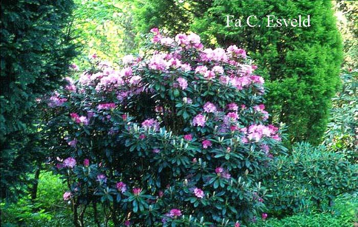 rhododendron-smirnowii-01.jpg