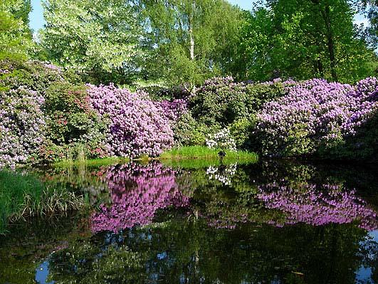 rhododendron-smirnowii-02.jpg