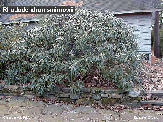 rhododendron-smirnowii-03.jpg