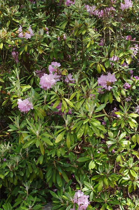 rhododendron-smirnowii-04.jpg