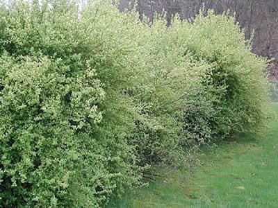 ribes-alpinum-schmidt-01.jpg