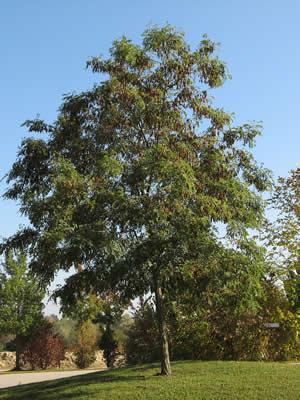 robinia-pseudoacacia-01.jpg