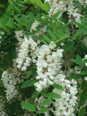 robinia-pseudoacacia-02.jpg