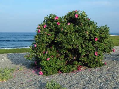rosa-rugosa-01.jpg