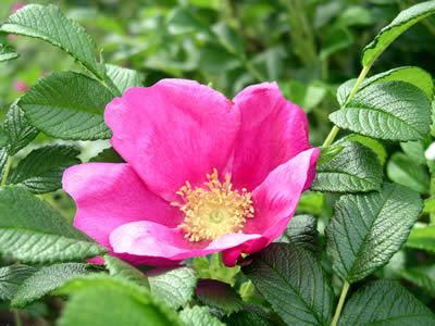 rosa-rugosa-02.jpg
