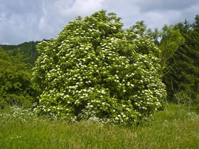 sambucus-nigra-01.jpg