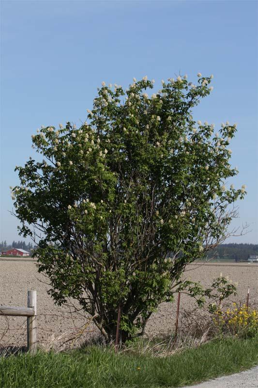 sambucus-racemosa-02.jpg
