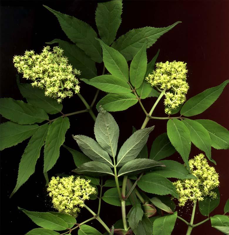 sambucus-racemosa-05.jpg