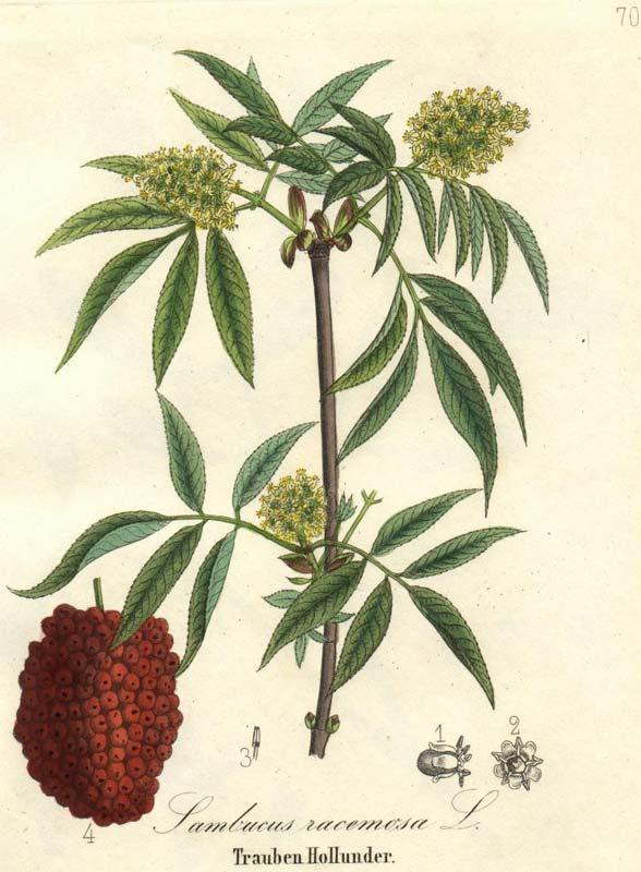sambucus-racemosa-07.jpg