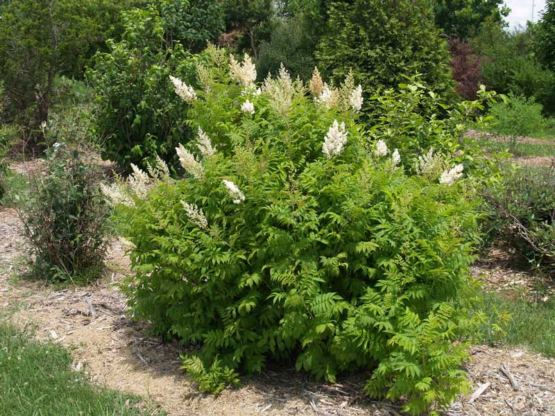 sorbaria-sorbifolia-01.jpg