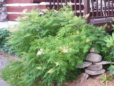 sorbaria-sorbifolia-03.jpg