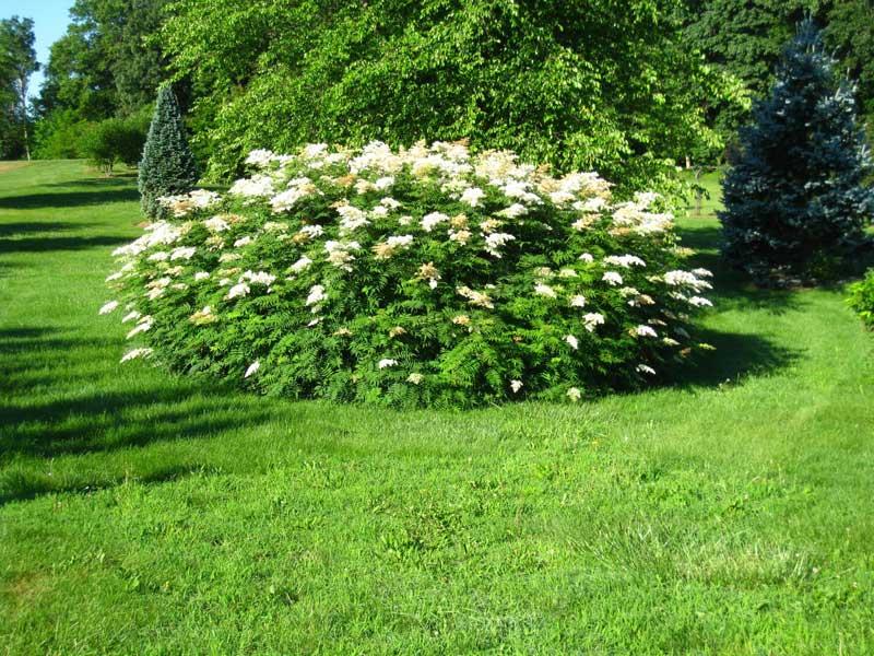 sorbaria-sorbifolia-05.jpg