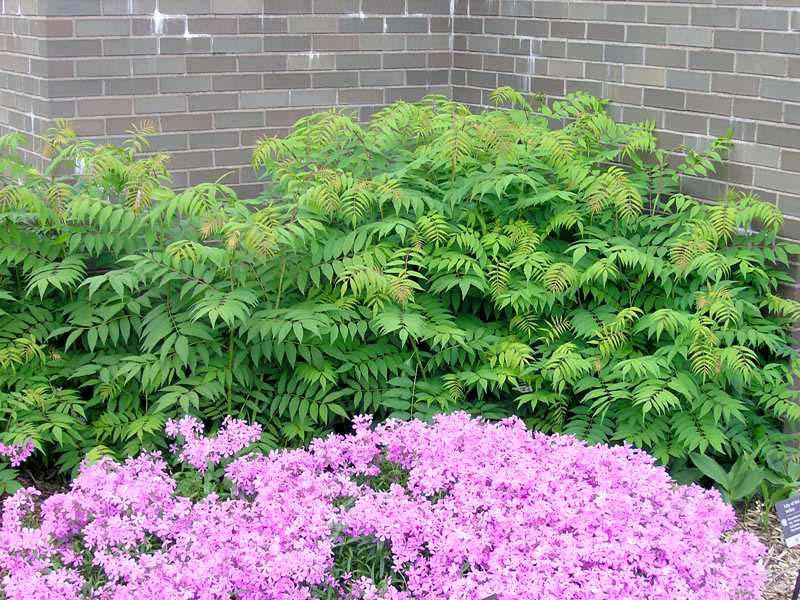 sorbaria-sorbifolia-06.jpg