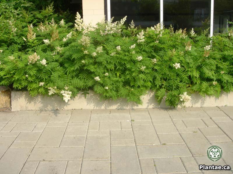 sorbaria-sorbifolia-07.jpg