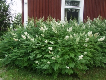 sorbaria-sorbifolia-09.jpg