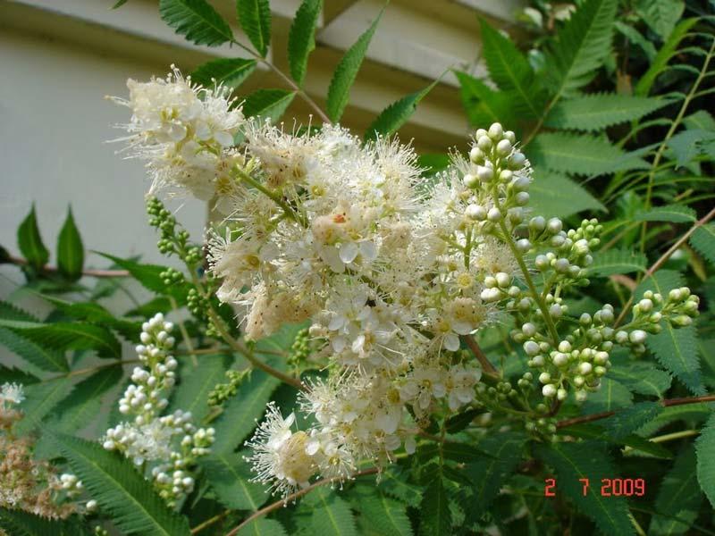 sorbaria-sorbifolia-11.jpg