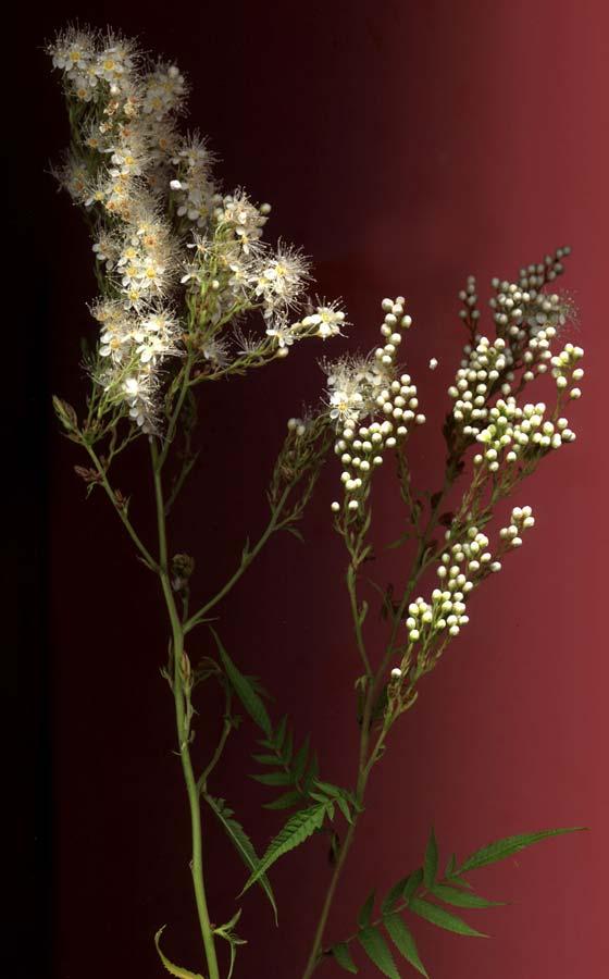 sorbaria-sorbifolia-13.jpg