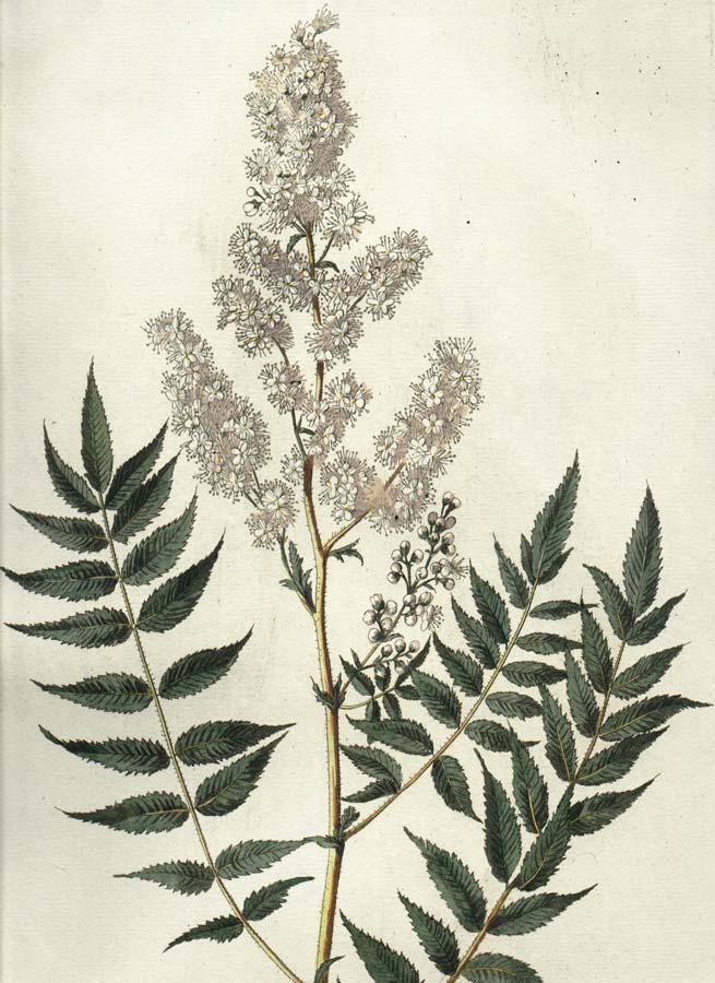 sorbaria-sorbifolia-14.jpg