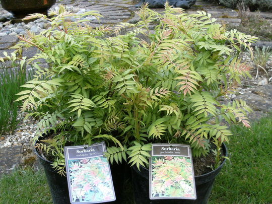 sorbaria-sorbifolia-15.jpg