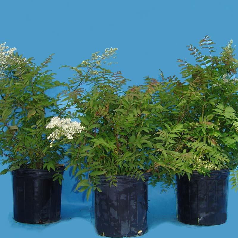 sorbaria-sorbifolia-16.jpg