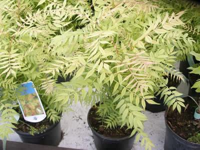 sorbaria-sorbifolia-18.jpg
