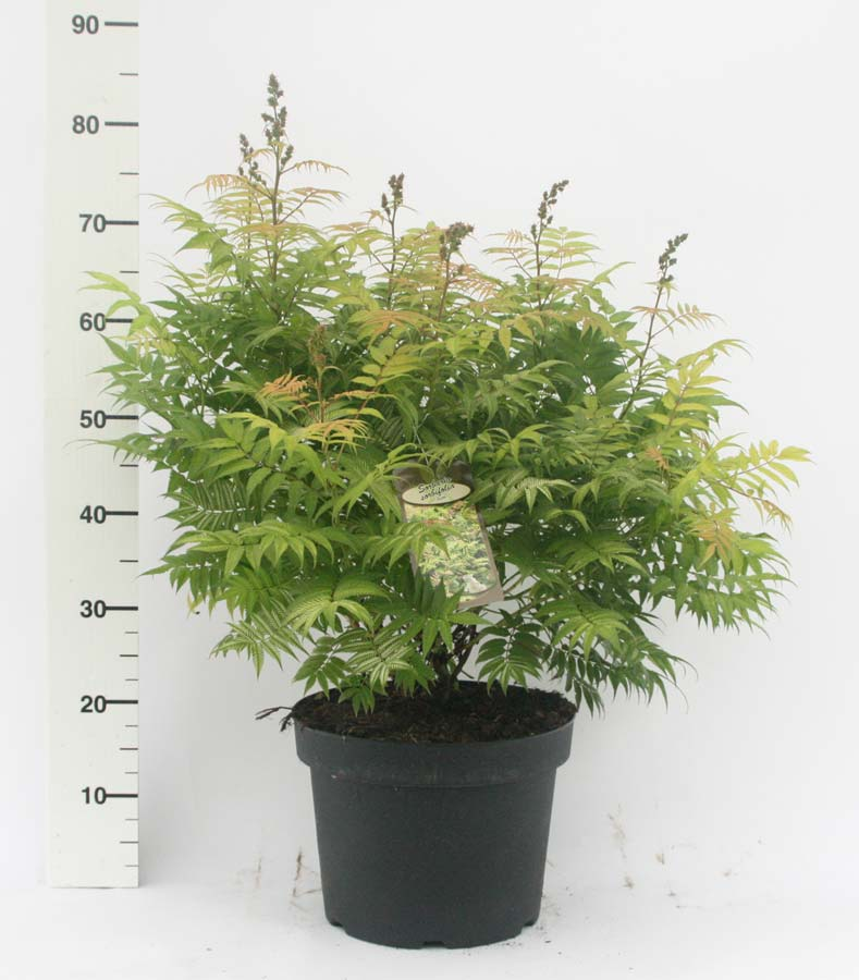 sorbaria-sorbifolia-19.jpg