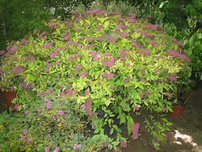 spiraea-bumalda-anthony-waterer-02.jpg